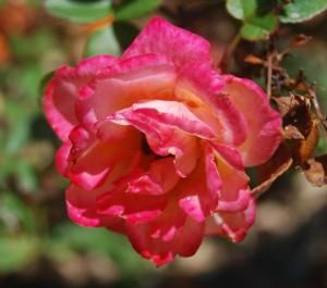 san diego rose
