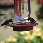 hummingbirds at 2020 Fort Stockton